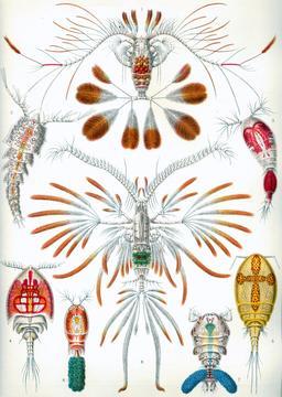 Planche de crustacés copépodes en 1904. Source : http://data.abuledu.org/URI/535d23ea-planche-de-crustaces-copepodes-en-1909