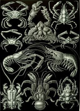 Planche de crustacés decapoda en 1904. Source : http://data.abuledu.org/URI/535d2d1d-planche-de-crustaces-decapoda-en-1909