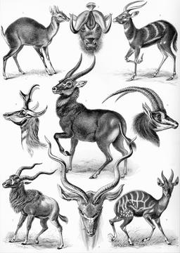 Planche de neuf antilopes en 1904. Source : http://data.abuledu.org/URI/535cf280-planche-de-neuf-antilopes
