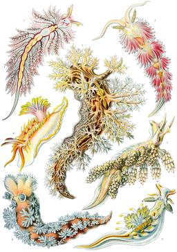 Planche de mollusques Nudibranches en 1904. Source : http://data.abuledu.org/URI/535d490e-planche-de-nudibranches-en-1909