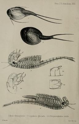 Planche de quatre triops en 1852. Source : http://data.abuledu.org/URI/56326a63-planche-de-quatre-triops-en-1852