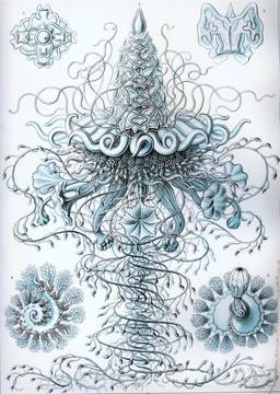 Planche de Siphonophorae. Source : http://data.abuledu.org/URI/5543a5bc-planche-de-siphonophorae