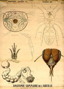 Planche Deyrolle de l'abeille. Source : http://data.abuledu.org/URI/56f82a3a-planche-deyrolle-de-l-abeille