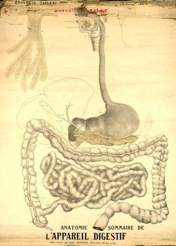 Planche Deyrolle de l'appareil digestif. Source : http://data.abuledu.org/URI/56f826aa-planche-deyrolle-de-l-appareil-digestif