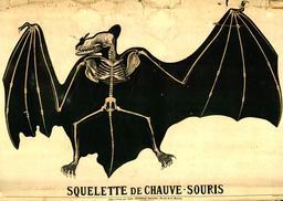 Planche Deyrolle de la chauve-souris. Source : http://data.abuledu.org/URI/56f82399-planche-deyrolle-de-la-chauve-souris