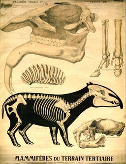 Planche Deyrolle de mammifères de l'ère tertiaire. Source : http://data.abuledu.org/URI/56f828c4-planche-deyrolle-de-mammiferes-de-l-ere-tertiaire