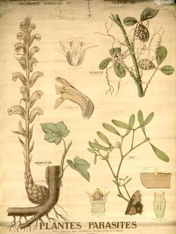Planche Deyrolle de plantes parasites. Source : http://data.abuledu.org/URI/56f85018-planche-deyrolle-de-plantes-parasites