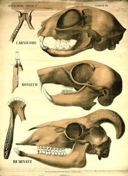 Planche Deyrolle de trois maxillaires. Source : http://data.abuledu.org/URI/56f834c2-planche-deyrolle-de-trois-maxillaires