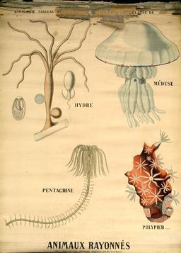 Planche Deyrolle des animaux rayonnés. Source : http://data.abuledu.org/URI/56f84484-planche-deyrolle-des-animaux-rayonnes