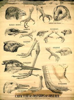 Planche Deyrolle des becs et serres d'oiseaux. Source : http://data.abuledu.org/URI/56f827f0-planche-deyrolle-des-becs-et-serres-d-oiseaux