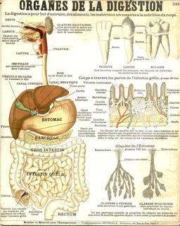 Planche Deyrolle des organes de digestion. Source : http://data.abuledu.org/URI/56f85084-planche-deyrolle-des-organes-de-digestion