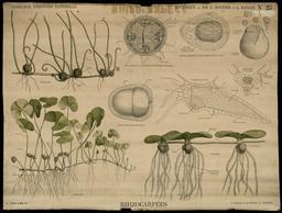 Planche Deyrolle des rhizocarpées. Source : http://data.abuledu.org/URI/56f8340a-planche-deyrolle-des-rhizocarpees