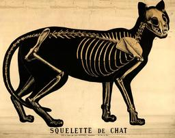 Planche Deyrolle du chat. Source : http://data.abuledu.org/URI/56f823e2-planche-deyrolle-du-chat