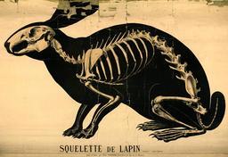 Planche Deyrolle du lapin. Source : http://data.abuledu.org/URI/56f82702-planche-deyrolle-du-lapin