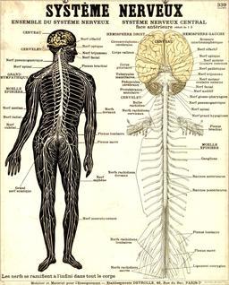 Planche Deyrolle du système nerveux. Source : http://data.abuledu.org/URI/56f850e8-planche-deyrolle-du-systeme-nerveux
