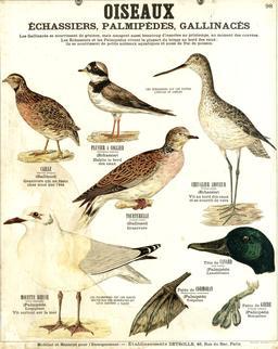 Planche Deyrolle sur les oiseaux. Source : http://data.abuledu.org/URI/56f821b2-planche-deyrolle-sur-les-oiseaux