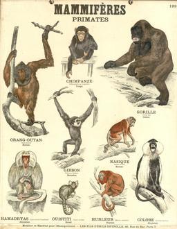 Planche Deyrolle sur les primates. Source : http://data.abuledu.org/URI/56f82206-planche-deyrolle-sur-les-primates