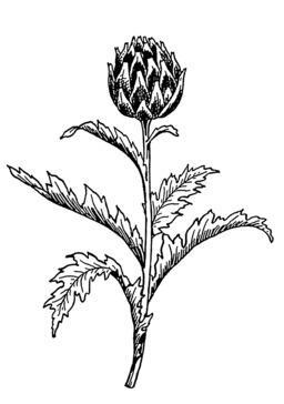 Plant d'artichaut. Source : http://data.abuledu.org/URI/53b97b07-plant-d-artichaut