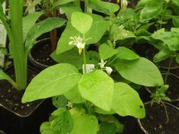 Plant d'aubergine africaine en fleurs. Source : http://data.abuledu.org/URI/52dfe5c3-plant-d-aubergine-africaine-en-fleurs