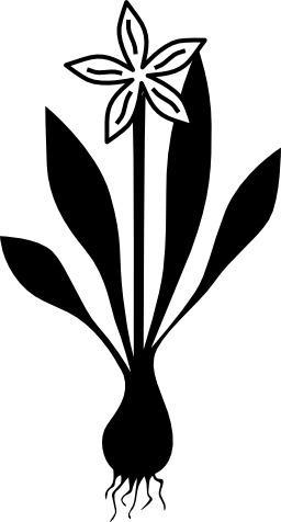Plante à bulbe en fleur. Source : http://data.abuledu.org/URI/5049a466-plante-a-bulbe-en-fleur