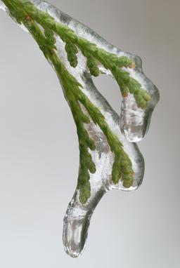 Plante prise dans la glace. Source : http://data.abuledu.org/URI/52bf561f-plante-prise-dans-la-glace