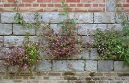 Plantes muricoles de la Citadelle de Lille. Source : http://data.abuledu.org/URI/553a006d-plantes-muricoles-de-la-citadelle-de-lille