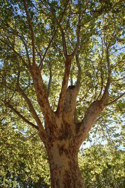 Platane en été. Source : http://data.abuledu.org/URI/59097905-platane-en-ete