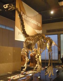 Plateosaurus. Source : http://data.abuledu.org/URI/58570abf-plateosaurus