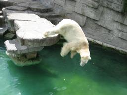 Plongeon d'ours polaire. Source : http://data.abuledu.org/URI/51bc75b8-plongeon-d-ours-polaire