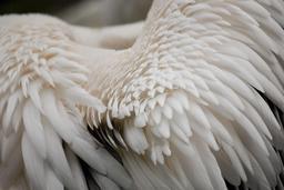 Plumes de pélican. Source : http://data.abuledu.org/URI/52d56bfb-plumes-de-pelican