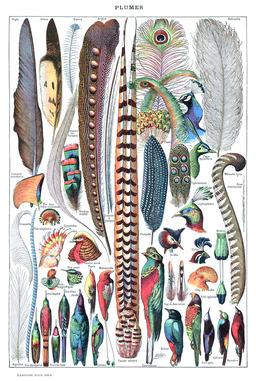 Plusieurs types de plumes. Source : http://data.abuledu.org/URI/519d50c1-plusieurs-types-de-plumes
