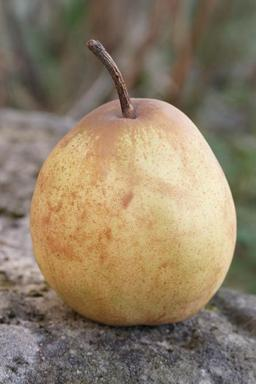 poire. Source : http://data.abuledu.org/URI/508e69d6-poire