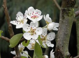 Poirier en fleurs en mars. Source : http://data.abuledu.org/URI/53264766-poirier-en-fleurs-en-mars