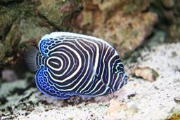 Poisson ange de mer imperator juvénile en Mer Rouge. Source : http://data.abuledu.org/URI/55438b9d-poisson-ange-de-mer-imperator-juvenile-en-mer-rouge