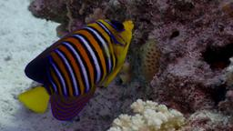 "Poisson ange ""duc"". Source : http://data.abuledu.org/URI/55438508-poisson-ange-duc-"
