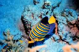 Poisson-ange duc en Mer Rouge. Source : http://data.abuledu.org/URI/554499de-poisson-ange-duc-en-mer-rouge