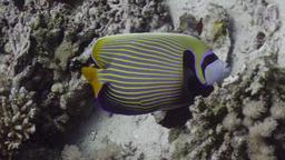 Poisson ange empereur. Source : http://data.abuledu.org/URI/5543820a-poisson-ange-empereur