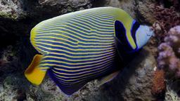 Poisson ange empereur. Source : http://data.abuledu.org/URI/5543821e-poisson-ange-empereur