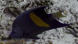 Poisson ange géographe. Source : http://data.abuledu.org/URI/55437f2e-poisson-ange-geographe