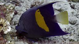 Poisson ange géographe. Source : http://data.abuledu.org/URI/55437f47-poisson-ange-geographe