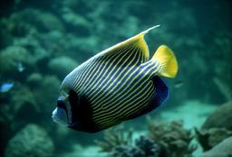 Poisson-ange imperator en Australie. Source : http://data.abuledu.org/URI/55439069-poisson-ange-imperator-en-australie