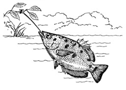 Poisson archer. Source : http://data.abuledu.org/URI/53eba490-poisson-archer