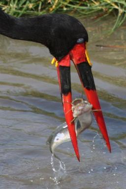 Poisson-chat dans le bec d'une cigogne. Source : http://data.abuledu.org/URI/50f592c7-poisson-chat-dans-le-bec-d-une-cigogne
