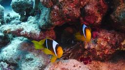 Poisson clown en mer rouge. Source : http://data.abuledu.org/URI/552ed6a6-poisson-clown-en-mer-rouge