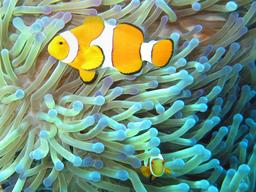 Poisson-clown et anémone de mer. Source : http://data.abuledu.org/URI/50e64079-poisson-clown-et-anemone-de-mer