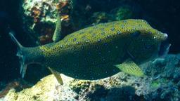 Poisson-coffre jaune. Source : http://data.abuledu.org/URI/555c8d26-poisson-coffre-jaune