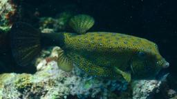 Poisson-coffre jaune. Source : http://data.abuledu.org/URI/555c8d3e-poisson-coffre-jaune