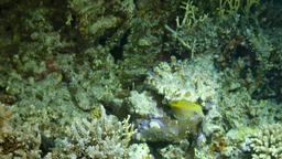 Poisson-coffre jaune. Source : http://data.abuledu.org/URI/555c8d4a-poisson-coffre-jaune