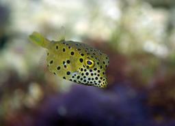 Poisson-coffre jaune. Source : http://data.abuledu.org/URI/555c8dfd-poisson-coffre-jaune