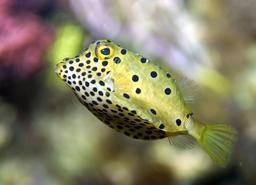 Poisson-coffre jaune. Source : http://data.abuledu.org/URI/555c8ef4-poisson-coffre-jaune